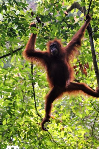 abenteuer wissen orang utans auf sumatra